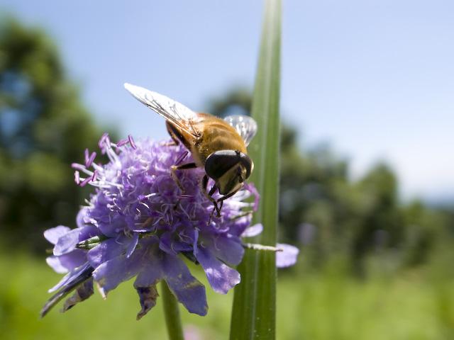 ヒゴタイの花と虫