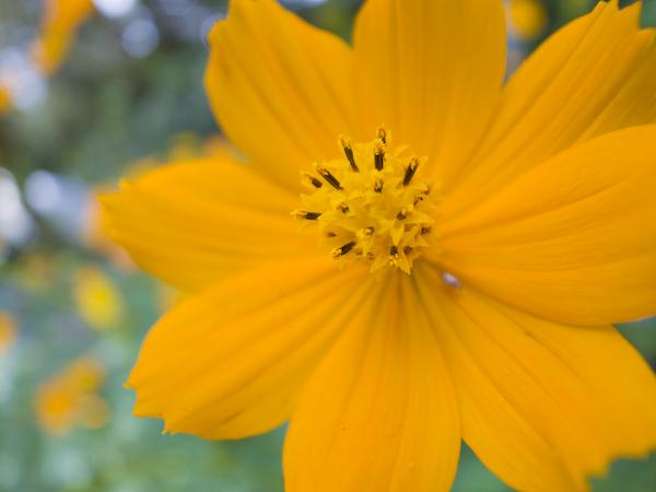 黄色いコスモスをマクロ撮影