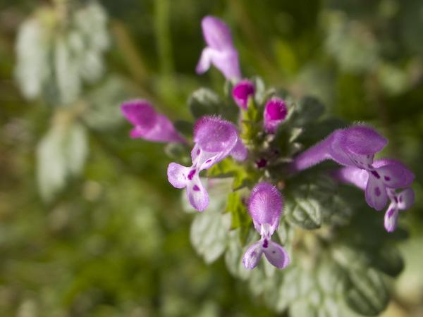 紫色の小さい花 名称不明