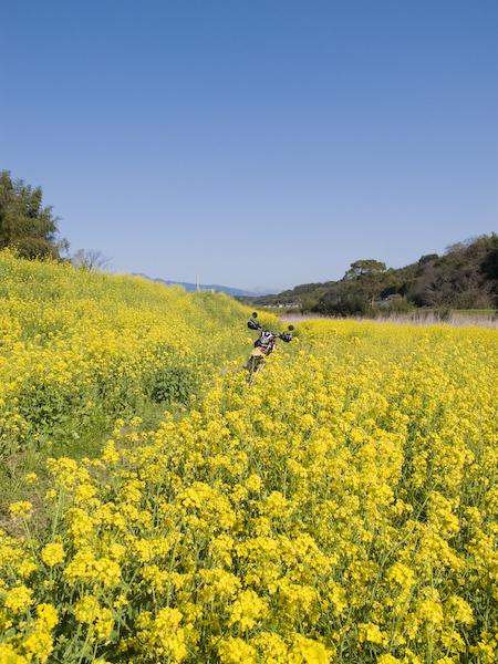 菜の花畑とセロー250